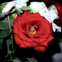 Роза :: Юрий Бичеров