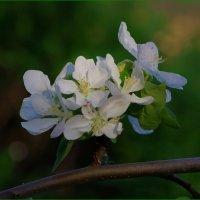Цветок яблони :: Михаил Рогожин