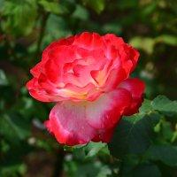 Роза. :: Геннадий Александрович