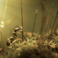 Черный огородный муравей :: Ирина Козорог