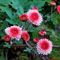 Пахнет хризантемами в саду... :: Виталий