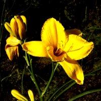 Желтый лилейник :: Валентина Родина