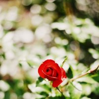 роза :: Оля С