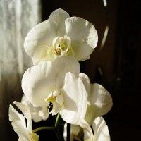 Орхидея :: Рубен Диланян