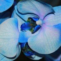 Орхидея :: Ольга Семенова
