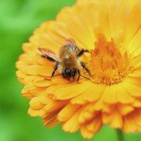 Пьяная пчела :: Юрий Герасименко