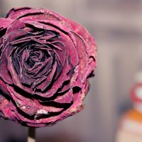 Засохшая роза :: Бэтти Иванюто