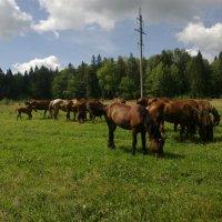 Табун домашних лошадей :: warsarhiv 1939-1945