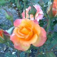 Розы :: Ольга Карпачева