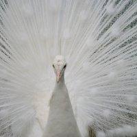 Белый павлин :: Александр Клименко
