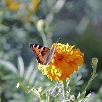 Бабочки, цветочки ) :: Алексей Хвастунов