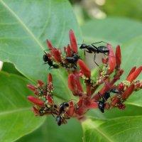 Из жизни муравьев (продолжение) :: Оксана Шрикантх