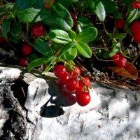 колыбель брусники на березовой коре :: gribushko грибушко Николай