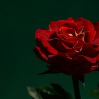 Rose :: Olga Krotova