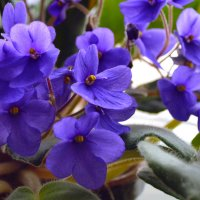 фиалки цветут 2 :: Юрий