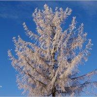 Вся в зимнем серебре... :: Антонина Гугаева