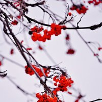 Рябинушка красная :: Katya Nike