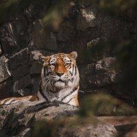 тигр :: Дмитрий Зайцев