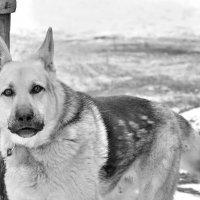 Сторожевая собака :: Владимир Анакин