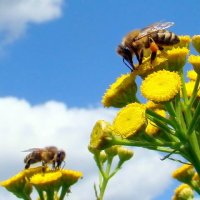 пчёлы :: Сергей Короленко