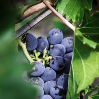 Bunch of grapes :: Eugene Volkov