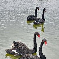 Танец черных лебедей :: Виталий Половинко