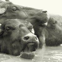 Буйволы в Ганге. :: Анастасия Кононенко