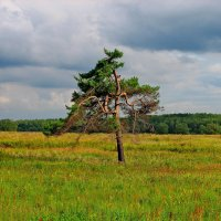 Одинокая сосна. :: Victor Klyuchev