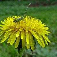 Зелёный на жёлтом, который на зелёном. :: Сергей В. Комаров