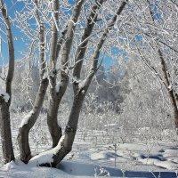 Дерева, вы мои дерева... :: Наталья Юрова