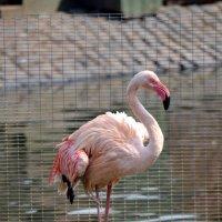 Розовый фламинго - дитя заката :: Борис Русаков