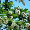 Акация,цвет и аромат... :: Тамара (st.tamara)