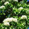 Груша дичка цветёт... :: Любовь К.
