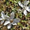 Цветок магнолии - древний, как мир и элегантный в своей простоте... :: Елена Павлова (Смолова)