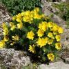 Горицвет (адонис) весенний :: Елена Павлова (Смолова)