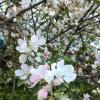 Яблонька цветёт :: BoxerMak Mak
