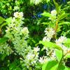 Белый цвет,черемухи цвет... :: ВАЛЕНТИНА ИВАНОВА
