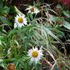Цветы в ноябре - Ромашка :: Маргарита Батырева