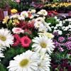Герберы в магазине цветов :: Алла ZALLA