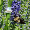 Шмель и бабочка :: Светлана Рябова-Шатунова
