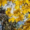 Солнечный свет и листья клена :: Юрий Стародубцев