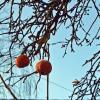 Зимние яблоки :: Татьяна Ларионова
