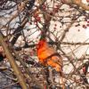 Птицы тоже любят ягоды :: Ольга Долбилина