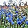 В парке Зарядье цветут подснежники :: Елена (ЛенаРа)