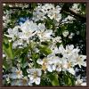 Весеннее цветение.. :: Владимир Бровко