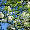 Белая черемуха весны :: Leonid Rutov