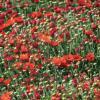 Красные хризантемы :: sapoznik-1
