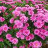 Не отцвели ещё хризантемы в саду.. :: Андрей Заломленков