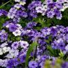 фиолетовое лето :: вероника подозерова
