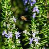 Пчела в полёте :: Александр Деревяшкин